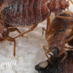 Bedbugs Control Service & Treatment