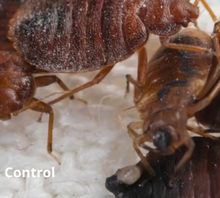 Bedbugs Control Service & Treatment